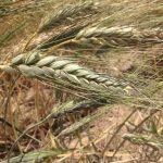 Sembrando trigo en Perù